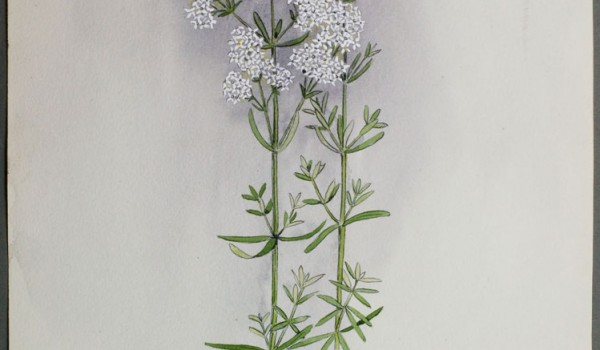 Photo of a watercolour painting of a Northern Bedstraw plant.