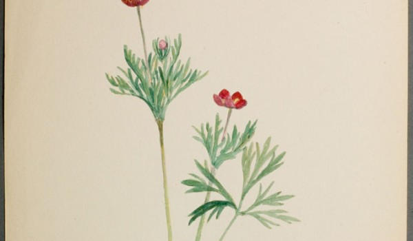 Photo of a watercolour painting of a Cut-leaved Anemone plant.