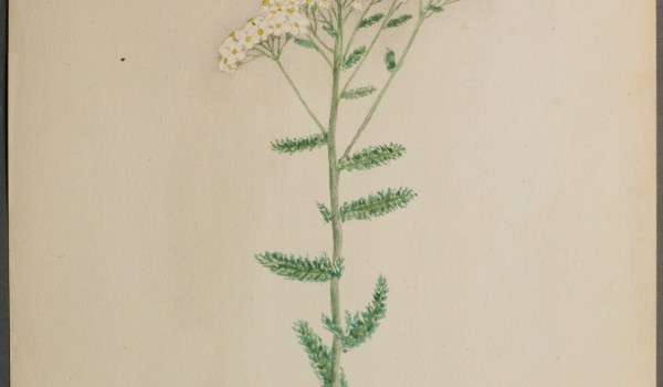 Photo of a watercolour painting of a Common Yarrow plant.
