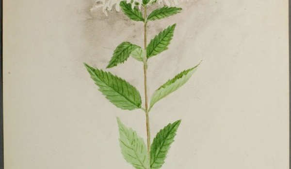 Photo of a watercolour painting of a Wild Bergamot plant.