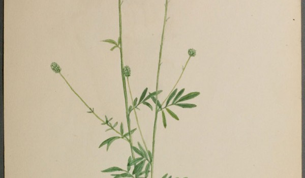 Photo of a watercolour painting of a White Prairie-clover plant.