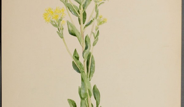 Photo of a watercolour painting of a Rigid Goldenrod plant.