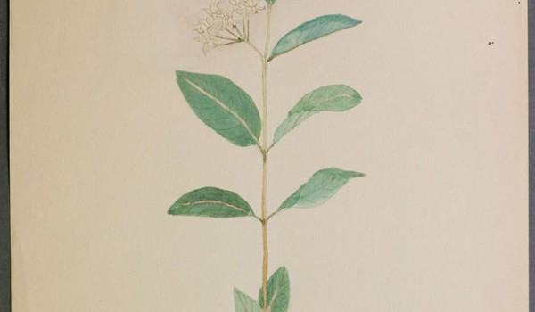 Photo of a watercolour painting of a Dwarf Milkweed plant.