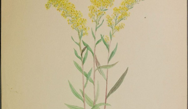 Photo of a watercolour painting of a Showy Goldenrod plant.