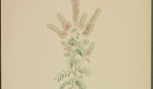 Photo of a watercolour painting of a Hairy Prairie-clover plant.