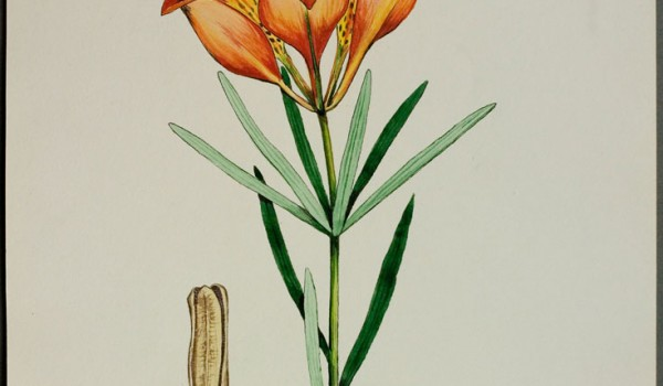 Photo of a watercolour painting of a Western Red Lily plant.