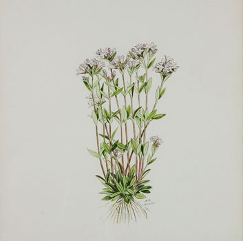 Photo of a watercolour painting of a Long-leaved Bluets plant.