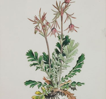 Photo of a watercolour painting of a Three-flowered Avens plant.