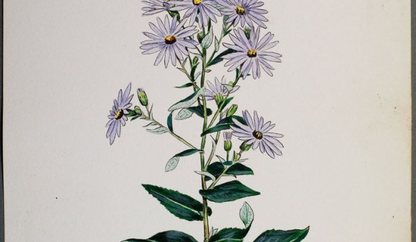 Photo of a watercolour painting of a Smooth Aster plant.