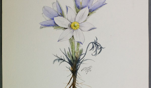 Photo of a watercolour painting of a Prairie Crocus plant.