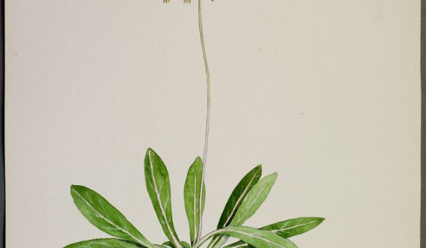 Photo of a watercolour painting of a Saline Shootingstar plant.