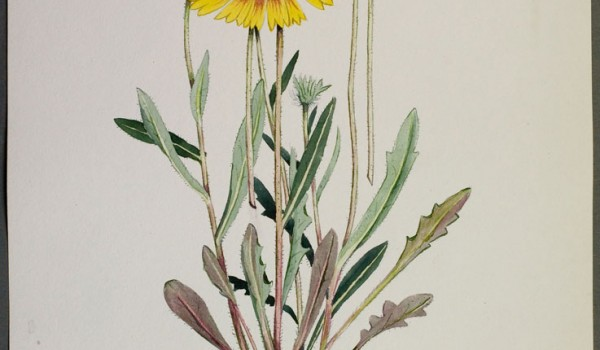 Photo of a watercolour painting of a Gaillardia plant.