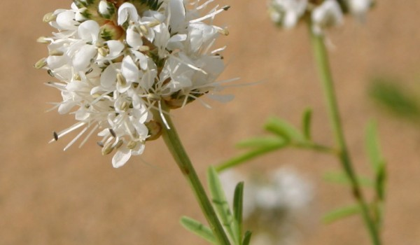 Photo of a White Prairie-clover plant.
