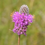 Photo of a Purple Prairie-clover plant.