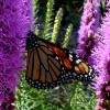 Photo of a Monarch butterfly on a Dotted Blazingstar flower head.