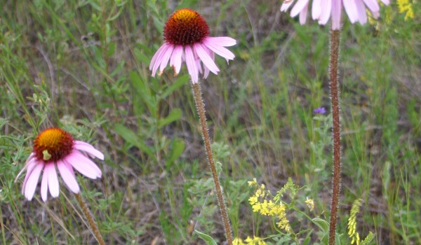 Photo of a Purple Coneflower plant.
