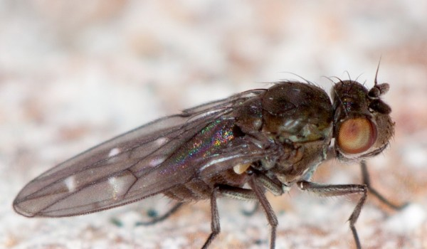Photo of a shore fly on sand.