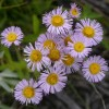 Photo of a Smooth Fleabane plant.