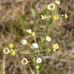 Photo of a Daisy Fleabane plant.