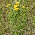 Photo of a Flat-top Goldenrod plant.