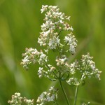 Photo of a Northern Bedstraw plant.
