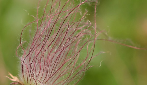 Photo of a Three-flowered Avens plant.