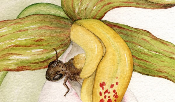 Photo of a painting of a sweat bee pollinating a Small White Lady's-slipper flower.