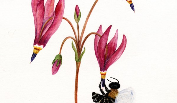 Photo of a painting of a sweat bee pollinating a Saline Shootingstar flower.