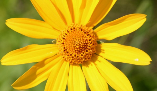 Photo of a Narrow-leaved Sunflower plant.
