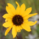 Photo of a Stiff Sunflower plant.