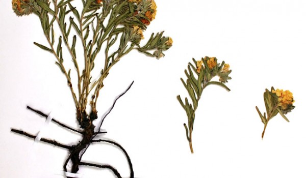 Photo of a pressed herbarium specimen of Hoary Puccoon.