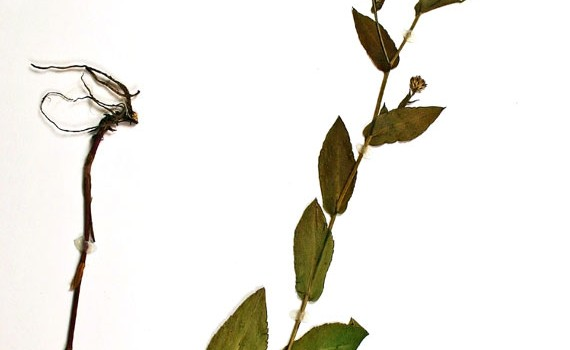 Photo of a pressed herbarium specimen of Smooth Aster.