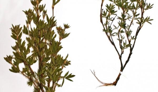 Photo of a pressed herbarium specimen of Shrubby Cinquefoil.