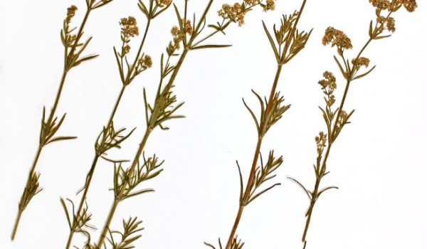 Photo of a pressed herbarium specimen of Northern Bedstraw.