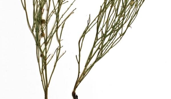 Photo of a pressed herbarium specimen of Skeletonweed.