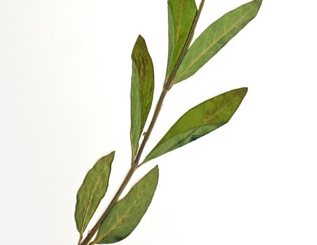 Photo of a pressed herbarium specimen of Dwark Milkweed.