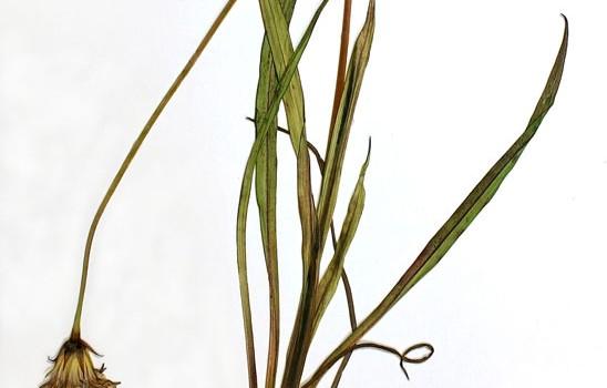 Photo of a pressed herbarium specimen of Large-flowered False Dandelion.