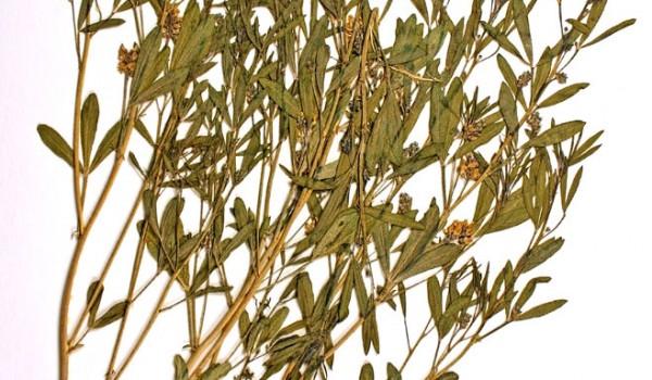 Photo of a pressed herbarium specimen of Lance-leaved Psoralea.