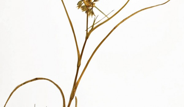 Photo of a pressed herbarium specimen of Western Spiderwort.