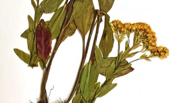Photo of a pressed herbarium specimen of Rigid Goldenrod.