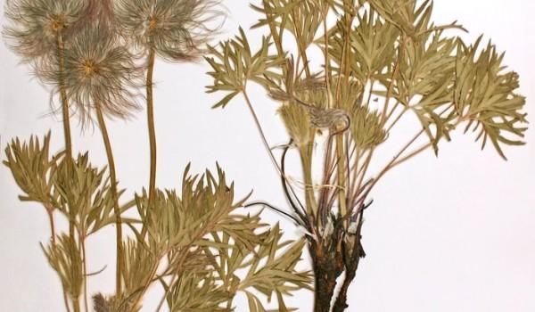 Photo of a pressed herbarium specimen of Prairie Crocus.
