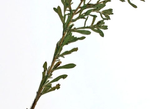 Photo of a pressed herbarium specimen of Hairy Golden-aster.