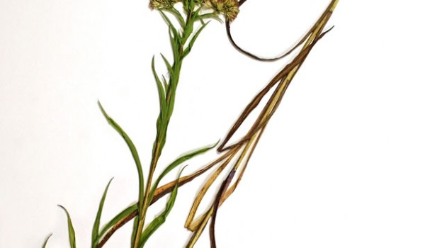 Photo of a pressed herbarium specimen of Riddell's Goldenrod.