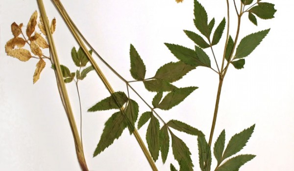 Photo of a pressed herbarium specimen of Golden Alexander.
