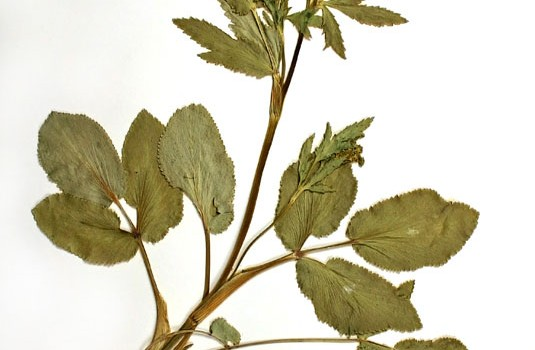 Photo of a pressed herbarium specimen of Heart-leaved Alexander.