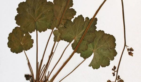 Photo of a pressed herbarium specimen of Alumroot.