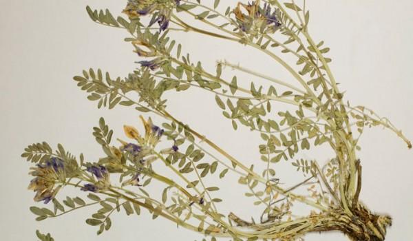 Photo of a pressed herbarium specimen of Ascending Purple Milk-vetch.