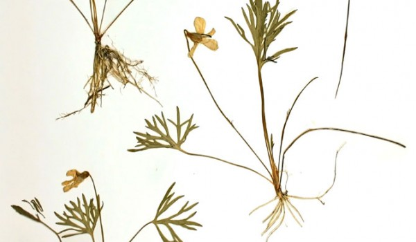 Photo of a pressed herbarium specimen of Crowfoot Violet.