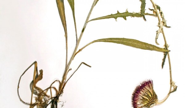 Photo of a pressed herbarium specimen of Flodman's Thistle.