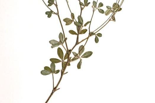Photo of a pressed herbarium specimen of Silverleaf Psoralea.
